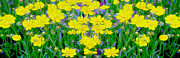 Yellow Wild Flowers Print by Jon Neidert
