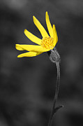 Flowers - Yellow Wildflower by Shane Bechler