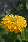 Eunice Miller Metal Prints - Yellow Zinnia Metal Print by Eunice Miller