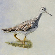 Sandpiper Framed Prints - Yellowlegs Square Framed Print by Bill  Wakeley