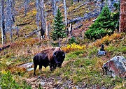 Wild Photo Metal Prints - Yellowstone Bison Metal Print by Benjamin Yeager