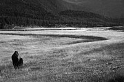 Roaming Posters - Yellowstone Bison Black and White Landscape Poster by Aidan Moran
