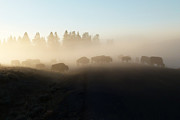 Yellowstone Bison In Early Morning Fog Print by Bob and Nancy Kendrick
