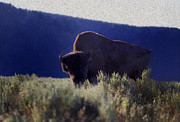Yellowstone National Park Digital Art - Yellowstone Bison by John Rodriguez