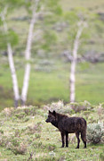 Max Waugh - Yellowstone Black Wolf
