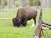 Yvette Pichette - Yellowstone Buffalo