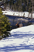 Travel Photography Photos - Yellowstone Elk by Sharon Elliott