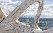 Yellowstone Park Prints - Yellowstone Lake Driftwood Print by Jennie Marie Schell