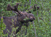 Moose Drool Posters - Yellowstone Munching Moose Poster by Martin Belan