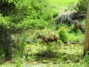 Elk Mixed Media - Yellowstone National Park - Moose by Photography Moments - Sandi