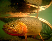 Cutthroat Trout Photo Prints - Yellowstone Native Print by Bob Kloskowski