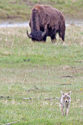 American Bison Prints - Yellowstone Prairie Print by Natural Focal Point Photography