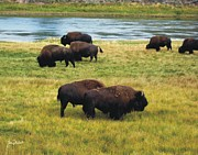 Bison Photos Posters - Yellowstone River Bison Poster by Joe Duket