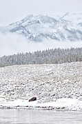 American Bison Art - Yellowstone Spring Snowstorm by Natural Focal Point Photography