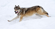 Max Waugh - Yellowstone Wolf Big...