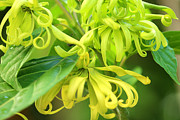 Essential Framed Prints - Ylang Ylang Framed Print by Piyaporn Kaewmafai