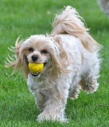 Dogs Swimming Photos Prints - Yorkie Chasing Ball Print by Lisa  DiFruscio