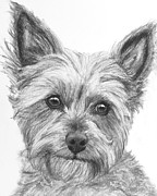 Pooch Drawings Posters - Yorkie Drawing Poster by Kate Sumners