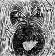 Mills Drawings - Yorkie Face by Terri Mills