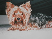 Futon Prints - Yorkie Hiding Print by Belinda Lee