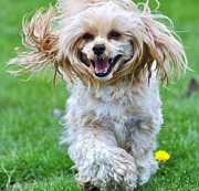 Dogs Swimming Photos Prints - Yorkie Poo Running Print by Lisa  DiFruscio