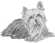 Charcoal Dog Drawing Drawings Posters - Yorkshire Terrier Drawing Poster by Catherine Roberts