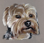 Yorkshire Drawings - Yorkshire Terrier- drawing by Daliana Pacuraru