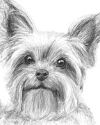 Pooch Drawings Posters - Yorkshire Terrier Drawing Poster by Kate Sumners