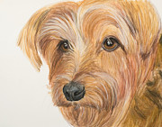 Miniature Pastels - Yorkshire Terrier Face by Kate Sumners