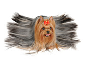 Konstantin Gushcha - Yorkshire Terrier with...