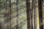 Sun Beams Prints - Yosemite pines in sunlight Print by Jane Rix