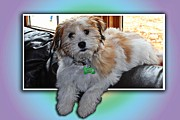 Green Tag Prints - YOSHI Havanese Puppy Print by Barbara Griffin