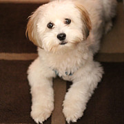 Yoshi Puppy Photos - YOSHI is One Today - Havanese Puppy by Barbara Griffin