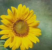 Yellow Sunflowers Prints - You Are My Sunshine Print by Kim Hojnacki