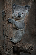 Koala Posters - You know Im cute. Poster by Carolyn Dalessandro