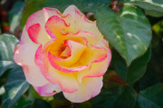 Pastel Art - You love the roses - so do I by Christine Till