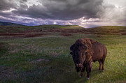 Bison Art - You May Not Pass by Mark Mesenko