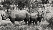 Rhinoceros Framed Prints - You watch my Back and I will Do the Same for You V2 Framed Print by Douglas Barnard