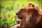 King Art - Young adult male lion on savanna. Safari in Serengeti by Michal Bednarek