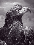 Young Bald Eagle V3 Print by F Leblanc