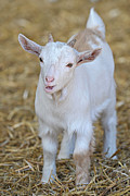 Billy Goats Framed Prints - Young Billy Framed Print by Karl Wilson