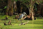 Theresa Willingham Metal Prints - Young Blue Heron Metal Print by Theresa Willingham