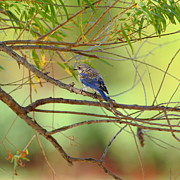Fledgling Posters - Young Bluebird In Willows Poster by Robert Frederick