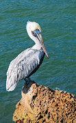 Pouch Painting Posters - Young Brown Pelican Poster by Anne Kitzman