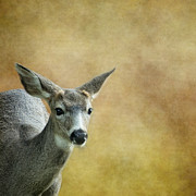 Belinda Prints - Young Buck Print by Belinda Greb