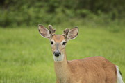 Young Buck With Velvety Antlers Print by Jim Lepard