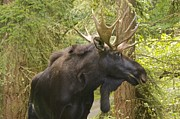 All - Young Bull Moose by Sean Griffin