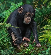Chimpanzee Digital Art Prints - Young Chimpanzee With Tool Print by Owen Bell