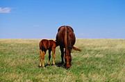 Domesticated Animals Framed Prints - Young Colt And Mother Framed Print by Jeff  Swan