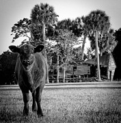 Sabal Palm Trees Prints - Young Cow Old Barn Print by Christy Usilton